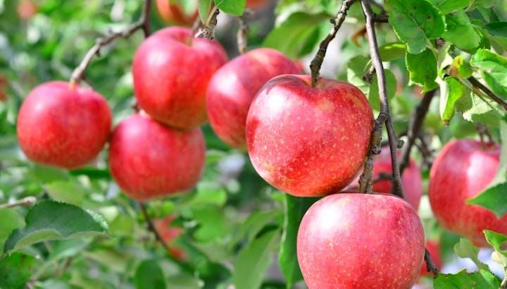 りんごは低カロリーでダイエット効果大!食べなきゃ損する食べ物